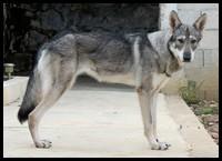 saarloos-gris