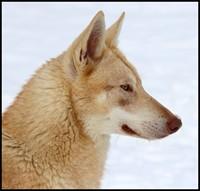 chien-loup-de-saarloos