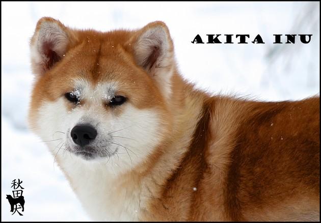 akita-inu-ginshu