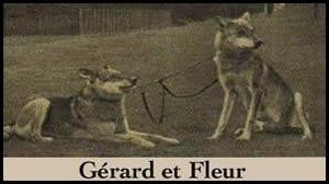chien-loup-de-saarloos-origine