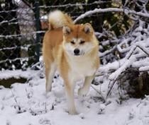 akita-inu-roux