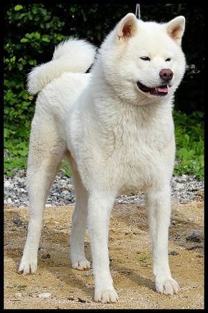akita-inu-blanc