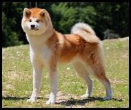 akita-inu